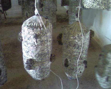 Как вырастить вешенки в подвале - от субстрата до урожая 24